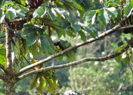 Collared Aracari - Celeste Mountain Lodge 3-20-2015